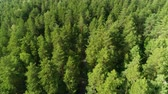 boreal : aerial driving white car seen through taiga high spruces in summer Stock Footage