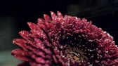 macro red chrysanthemum with drop spins in darkness