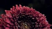 macro dark red autumn flower with brilliant water drops Wideo