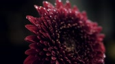 close view wine red chrysanthemum in clear water flow