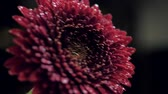 close view shaken red chrysanthemum and water drops