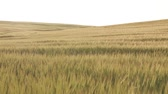 sheaf of barley : Wheat Field Before Sunset, slow dolly shot