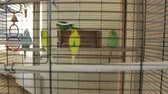 papagaio : The Parrots The Cage