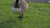 泳ぐ : Gray Geese Eating Grass 動画素材