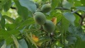 nut : The Walnut Fruit On Tree