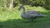 ganso : Gray Swan Eat The Grass