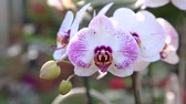 orquídea : Orchid flower in orchid garden at winter or spring day for postcard beauty and agriculture idea concept design. Phalaenopsis orchid or Moth orchid.