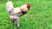 kümes hayvanları : Bird rooster looking for food in green grass on traditional rural barnyard.