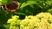housenka : Big black butterfly Monarch walks on plant with flowers and green leaves after feeding.