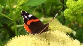 monarcha : Big black butterfly Monarch walks on plant with flowers and green leaves after feeding.