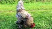 петух : Bird rooster looking for food in green grass on traditional rural barnyard.