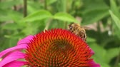polinização : Winged bee slowly flies to the plant, collect nectar for honey on private apiary from flower.