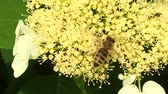 mead : Winged flower flies to the plant Stock Footage