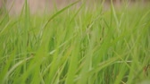 kansas : Green sedge grass sways in the wind