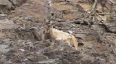 desert sheep : Mountain goat resting on a rocky slope, close up, HD 1080p Stock Footage