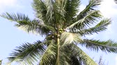 organic : Coconuts palm tree perspective view from floor high up