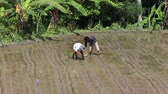 indonesia : UBUD, INDONESIA - FEBRUARY 24, 2015 : Unknown farmer working hard on rice field in Bali. Balis fertile volcanic soil has made rice a central dietary staple.