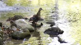parent : Mother duck with her ducklings swimming in the water on the river looking for food
