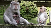 parent : Monkey family at sacred monkey forest. Ubud, Bali, Indonesia