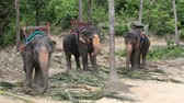 strength : Elephant for tourist ride in elephant camp on the island Koh Phangan Thailand. Elephant eating palm leaves in the jungle Stock Footage