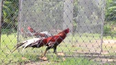 agitated : Roosters are in an iron cage and await cockfighting, Koh Phangan, Thailand Stock Footage
