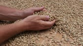 coffee farmers : Male hands and unroasted coffee beans in the market, Bali, Indonesia. Close up