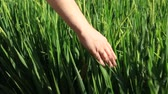 hántolatlan rizs : Hand of a woman in a green rice field background, agriculture rural scene near a village Ubud, island Bali, Indonesia. Close up