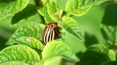 жук : Colorado potato beetle, Leptinotarsa ??decemlineata, crawls along the green leaf of the plant, close up Стоковые видеозаписи