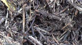 formiga : Big anthill in the woods. Big anthill with colony of ants in summer forest. Ants on the ant hill in the woods closeup, macro Vídeos