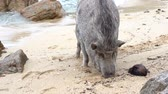 Big Pig on tropical sand beach near sea water, Thailand