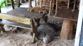 Big pig with ginger cat sleeping on sand, Thailand.