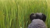 poodle : poodle running on the spring grass. slow motion. filmed at 120 fps Stock Footage