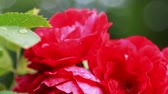 rose garden : blooming rose bushes in the summer garden. Dolly video