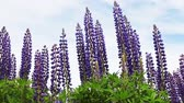 newfoundland : Lupin garden or Turkish violet grows in a field on the background of blue sky. Dolly video Stock Footage