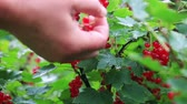 red currant : fresh red currant bushes are harvested female hands