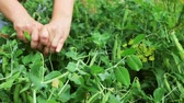 garden bed : fresh Bush peas weed female hands Stock Footage