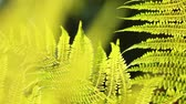luxuriante : fern leaves camera movement at sunset. Dolly video