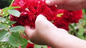 kwiaciarnia : female hands visiting the blooming rose bushes in the summer garden