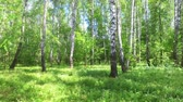faia : birch and maple in the summer forest. summer landscape birch grove Vídeos