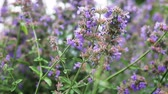 funda : lavender and Heather flowers, background of garden and field flowers. Dolly video