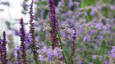 charneca : lavender and Heather flowers, background of garden and field flowers. Dolly video