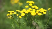 herbaceous : wild flowers of tansy with yellow flowers