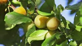 colheita : ripe plums on the tree sway in the wind