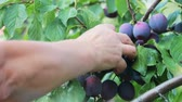 buda : hand rips ripe plum on swinging in the wind tree Stock Footage
