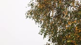ноябрь : autumn leaves fall from the tree during autumn leaf fall