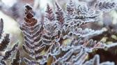 paproć : frozen autumn fern leaves in ice crystals. Autumn nature. camera zoom