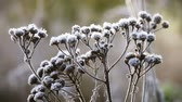 wormwood bushes is frozen in ice crystals on the background of the setting sun. Wind and Blizzard moves the grass Stok Video