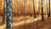 falling leaves from a birch tree in the autumn forest. in autumn the leaves fall. camera movement Filmati Stock