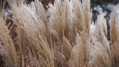 beautiful dry grass swaying in the winter wind