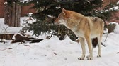 grey wolf in the snow and carefully looks around